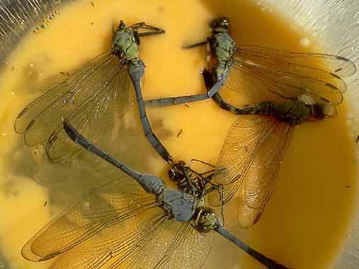 El insecto Dragonfly | 14 productos culinarios que los gallegos no se comerían en los restaurantes en Galicia